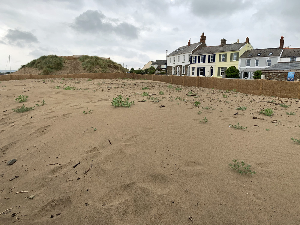 Dune management - regrowth in fenced-off area, June 2020
